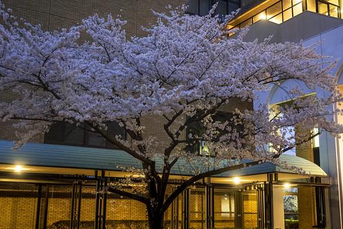 大学の桜 2015_02