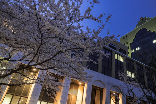 大学の桜 2015_03
