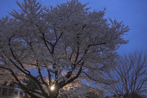 大学の桜 2015_01