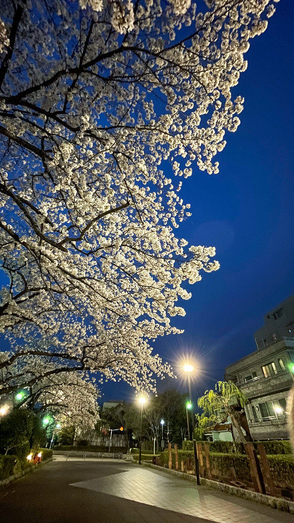 夜桜 by iPhone 12 Pro_02