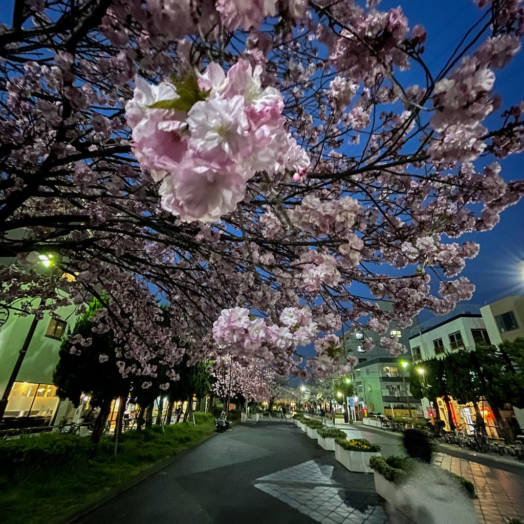 iPhone 12 Pro 広角レンズで夜桜